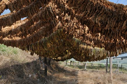 Drying tobacco leaves in Krios